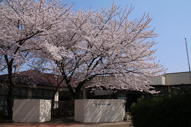 桜_守谷 D6899
