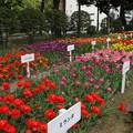 チューリップ_横浜 D7163