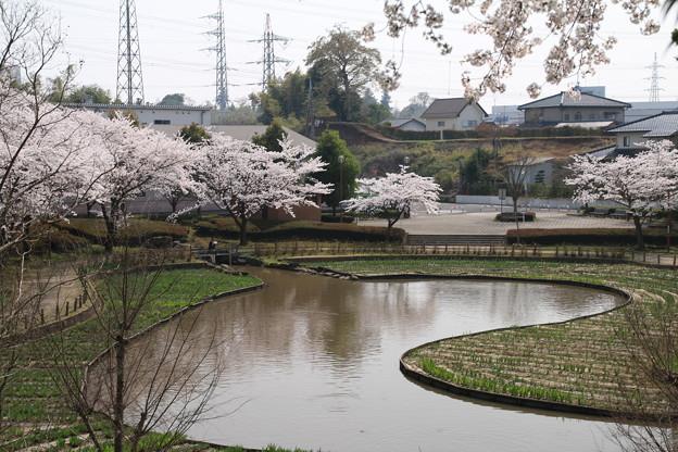 桜_公園 D6906