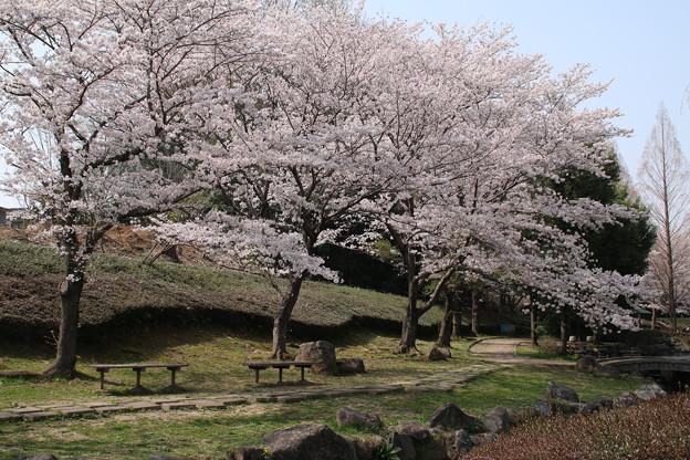 桜_公園 D6911