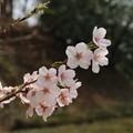 桜_公園 D6918