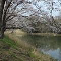 桜_福岡堰 F2110