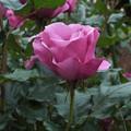 写真: 薔薇_公園 F2432