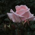 写真: 薔薇_公園 F2433