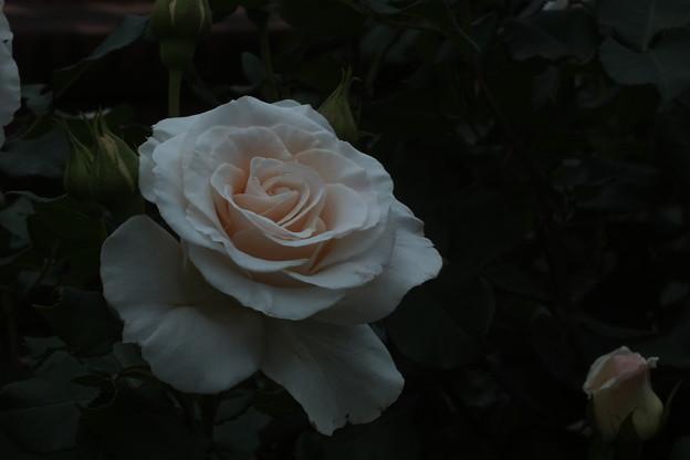 写真: 薔薇_公園 F2435