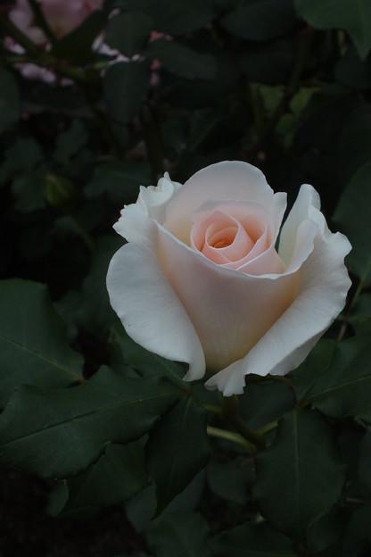 薔薇_公園 F2445
