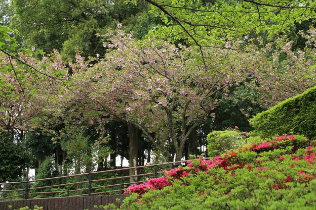 桜_公園 D7274