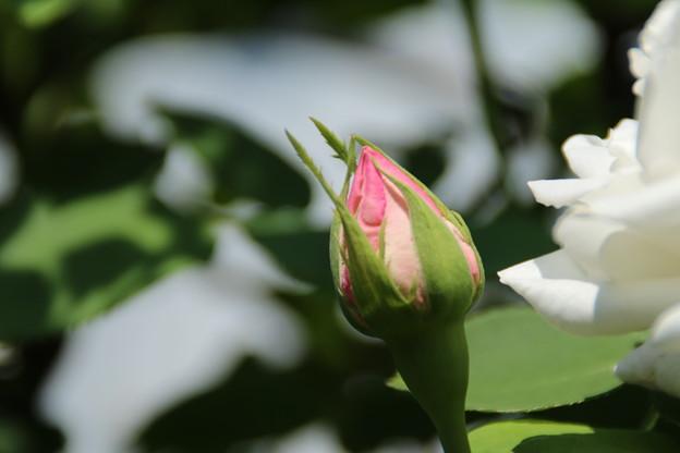 バラ_花壇 D7355