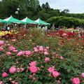 薔薇_公園 D7364