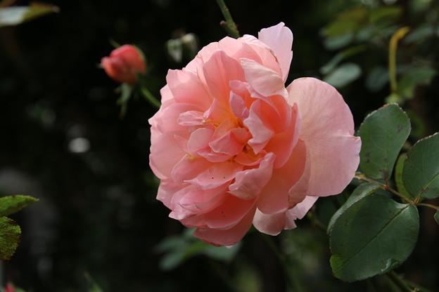 薔薇_花壇 D8520