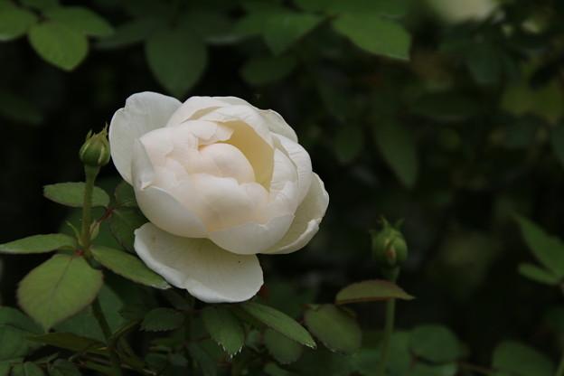 薔薇_横浜 D8581