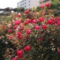 バラ_横浜 D8821