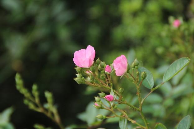 薔薇_横浜 D8838