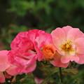 薔薇_横浜 D8840