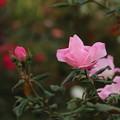 薔薇_横浜 D8849