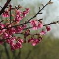 Photos: 桜_公園 D0284