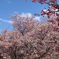 写真: 桜_公園 D0286