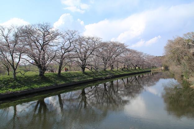 桜_福岡堰 D0565