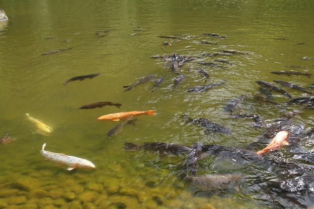 池の鯉_新勝寺 D1287