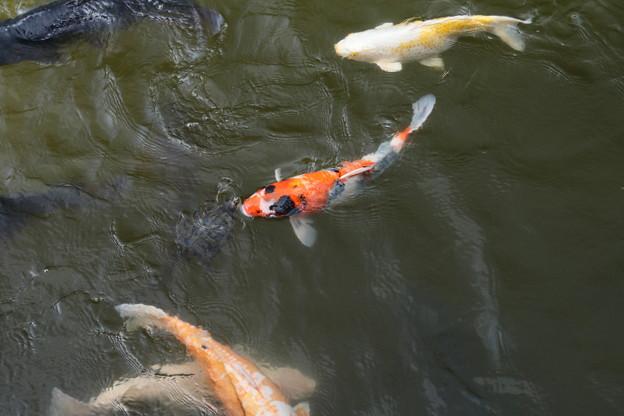 池の鯉_新勝寺 D1298