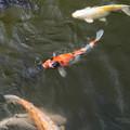 Photos: 池の鯉_新勝寺 D1298