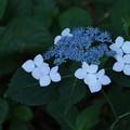Photos: 紫陽花_公園 D2219