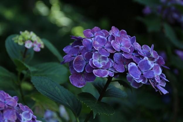 紫陽花_公園 D2228