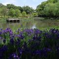 Photos: アヤメ_公園 D1337