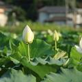 Photos: 蓮_つくば D2707