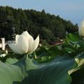 Photos: 蓮_つくば D2710