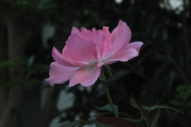 薔薇_花壇 F3629