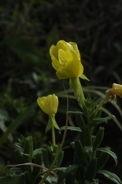 黄色い花_散歩 F3718