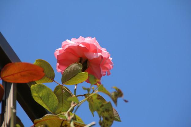 薔薇_散歩 D3098