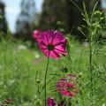 Photos: コスモス_公園 D3294