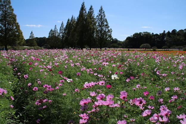 秋桜_公園 D3298