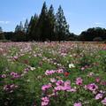 Photos: 秋桜_公園 D3298