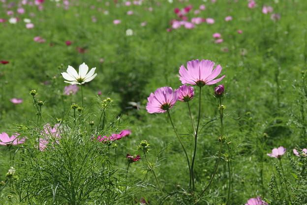 秋桜_公園 D3296