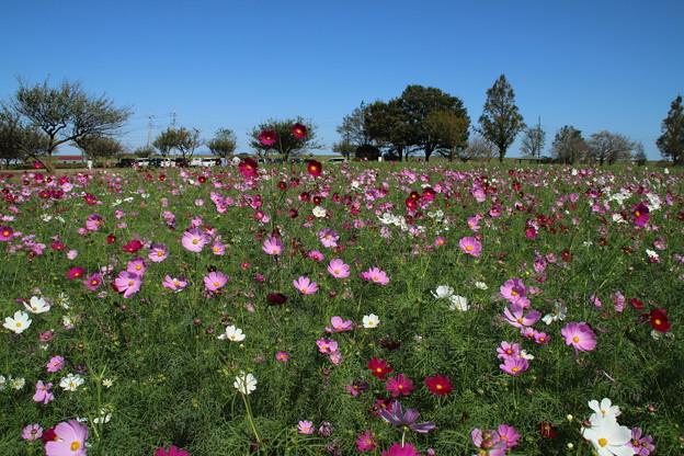 秋桜_公園 D3299