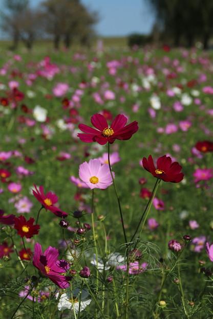 秋桜_公園 D3310