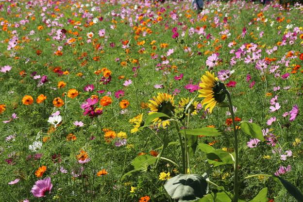 向日葵と_公園 D3315