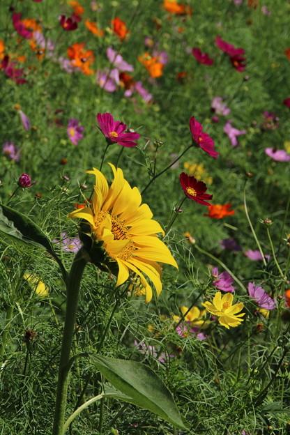 向日葵と_公園 D3318