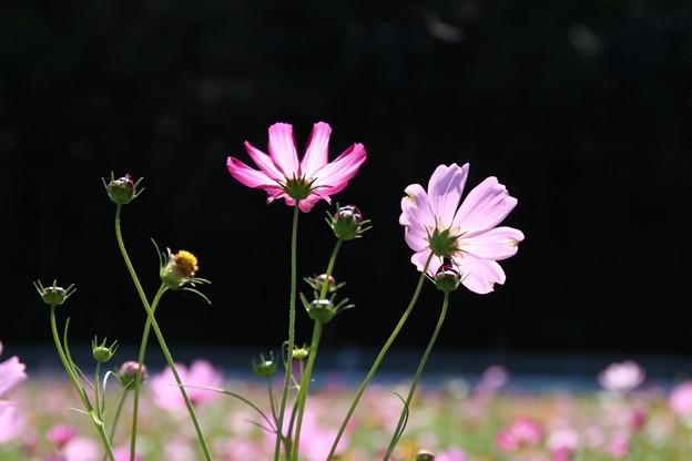 秋桜_公園 D3328