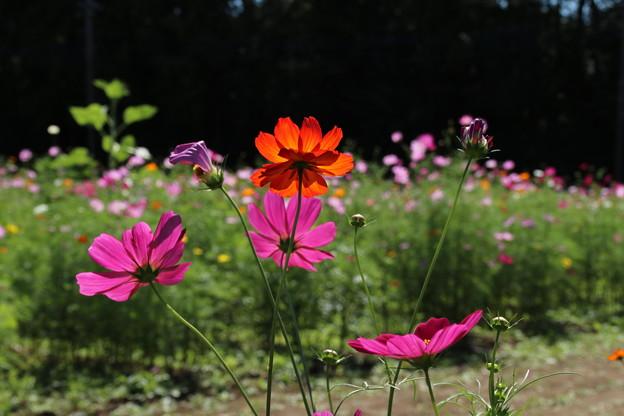 秋桜_公園 D3327