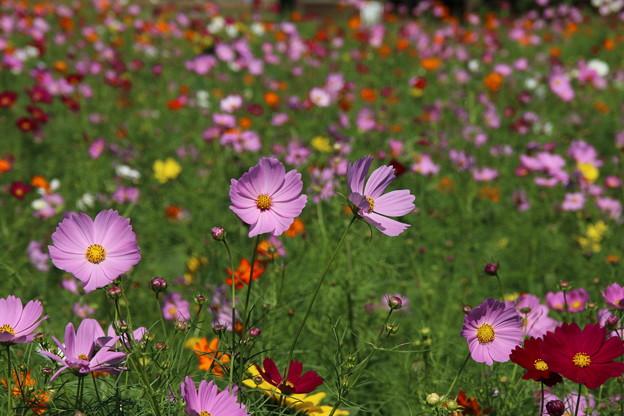 秋桜_公園 D3337