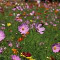 Photos: 秋桜_公園 D3337