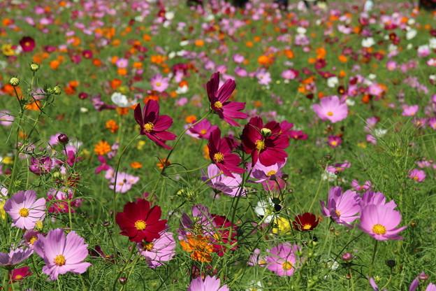 秋桜_公園 D3339
