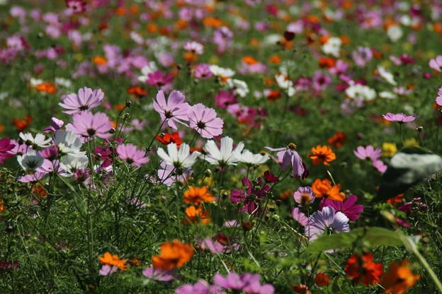 秋桜_公園 D3341