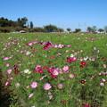 Photos: 秋桜_公園 D3342