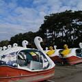 Photos: スワン_田沢湖 D3435