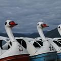 スワン_田沢湖 D3436